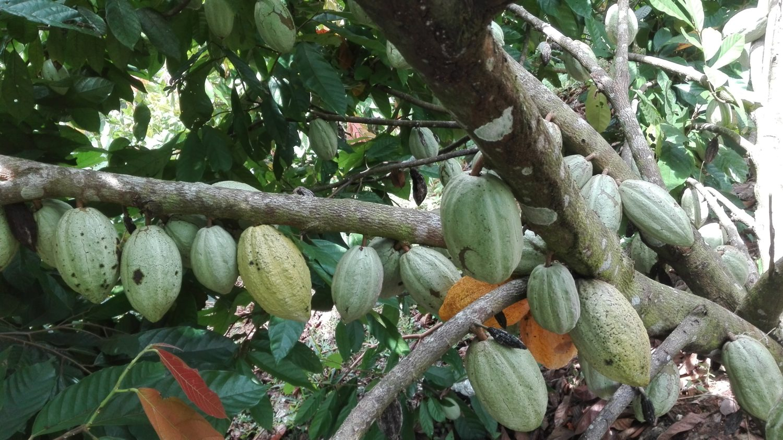 Programa de Certificación de Semilla de Cacao